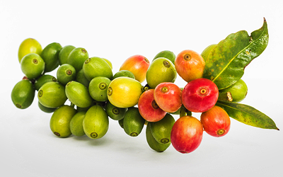diéta zelená káva